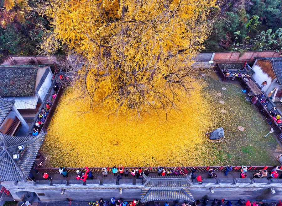 Посетители фотографируют падающие листья со старого дерева гингко в Сиане, провинция Шэньси, Китай, 21 ноября 2015