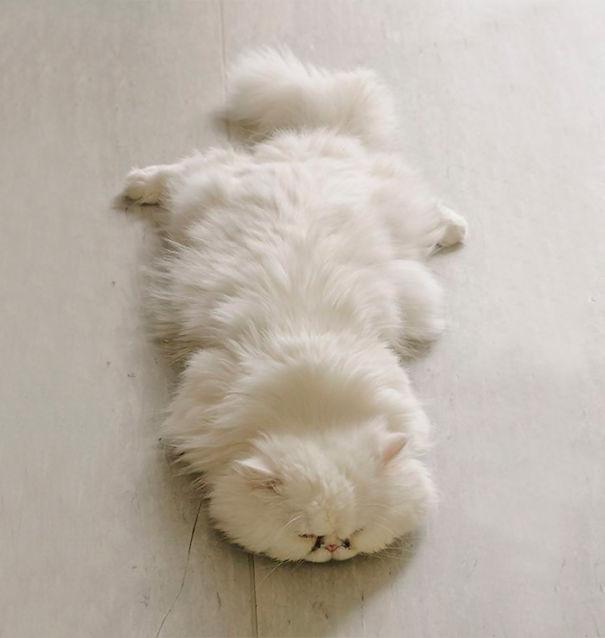fluffy_cat_12