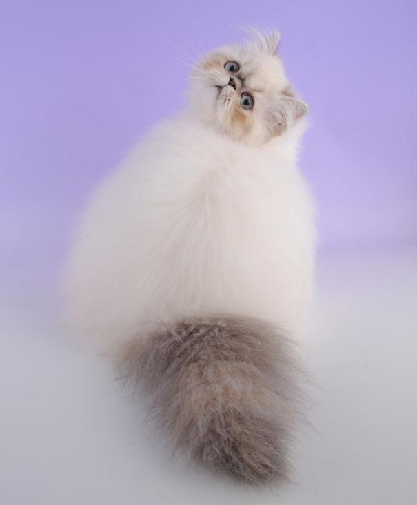 fluffy_cat_14