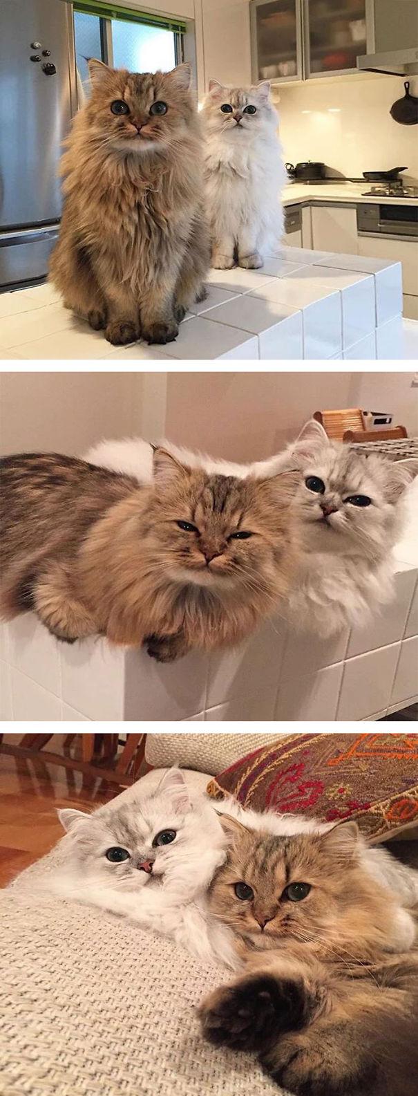 fluffy_cat_15