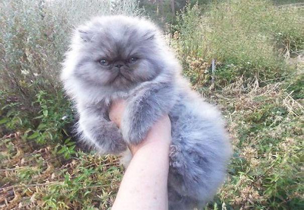fluffy_cat_17
