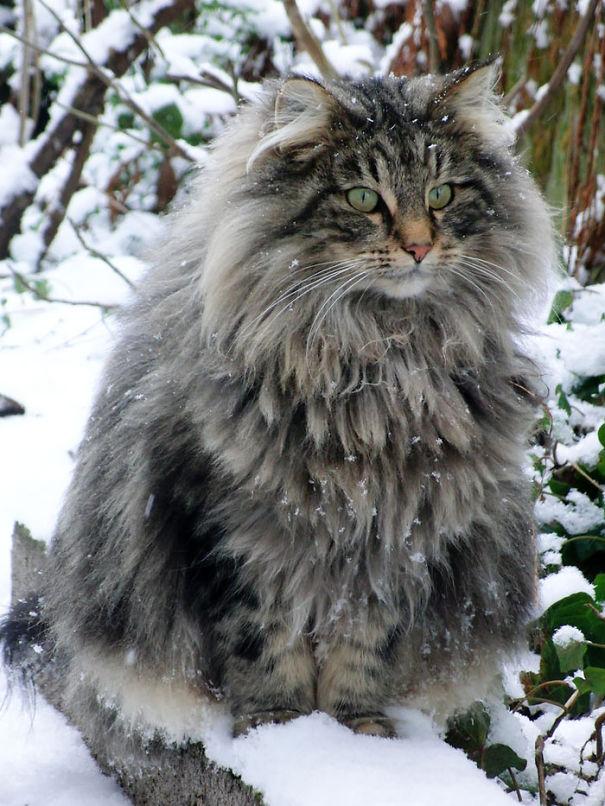 fluffy_cat_6