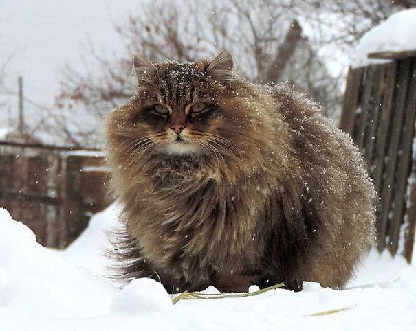 fluffy_cat_7