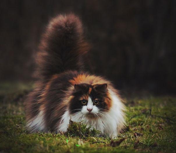 fluffy_cat_8