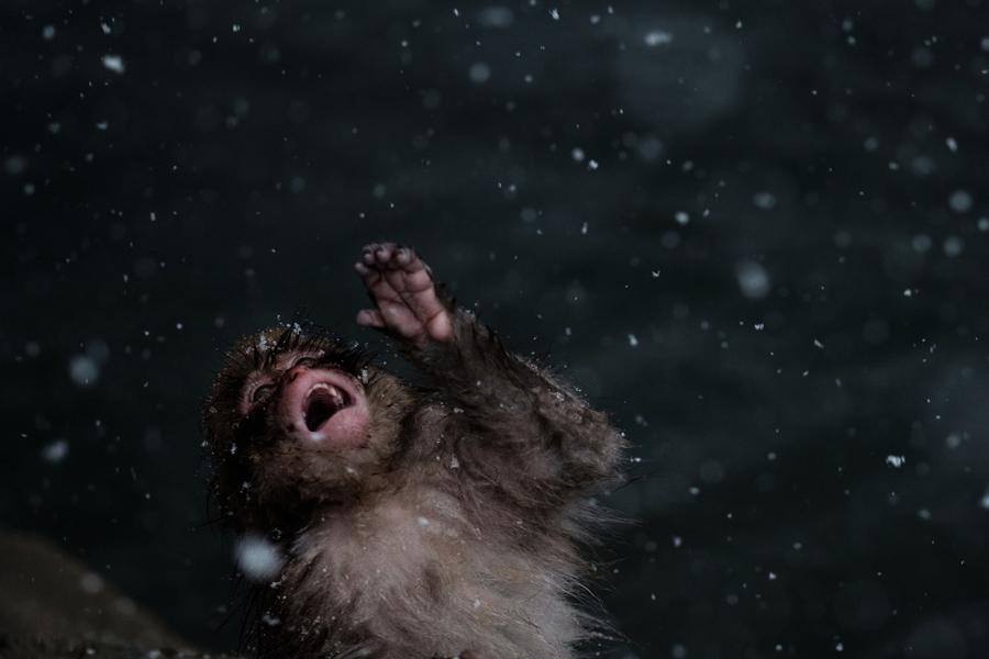 """Японская дикая обезьяна, известные как """"снежные обезьяны"""" пытается съесть снежинки в горячем источнике в городе Яманучи, префектура Нагано, Япония по 18 января 2016."""