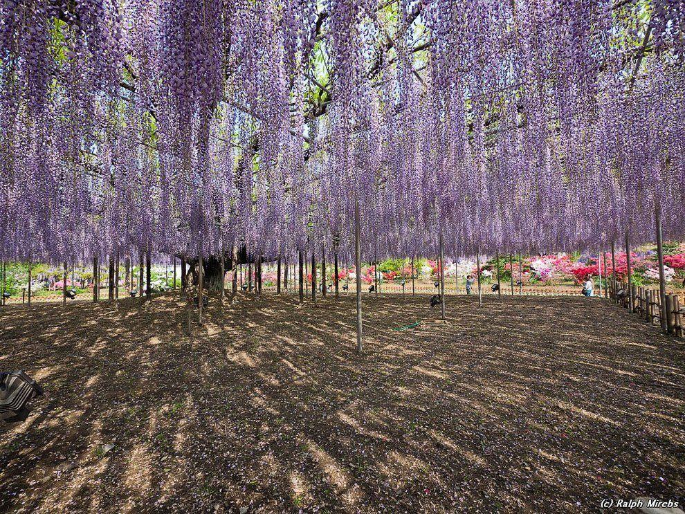 ashikaga_flower_park_002