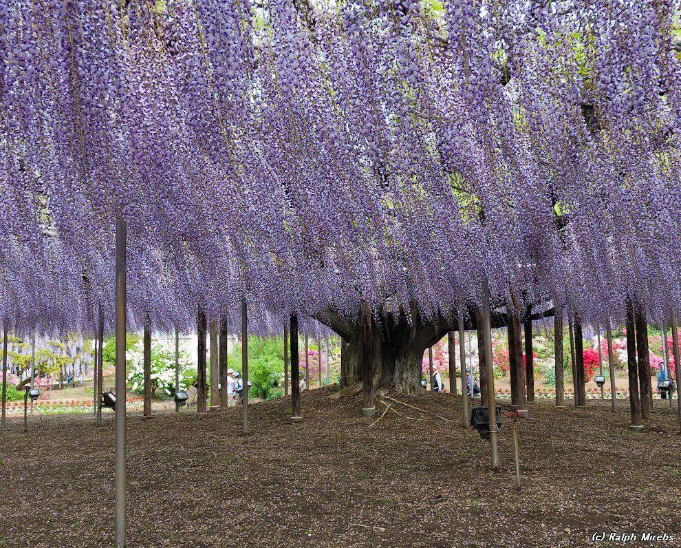 ashikaga_flower_park_005