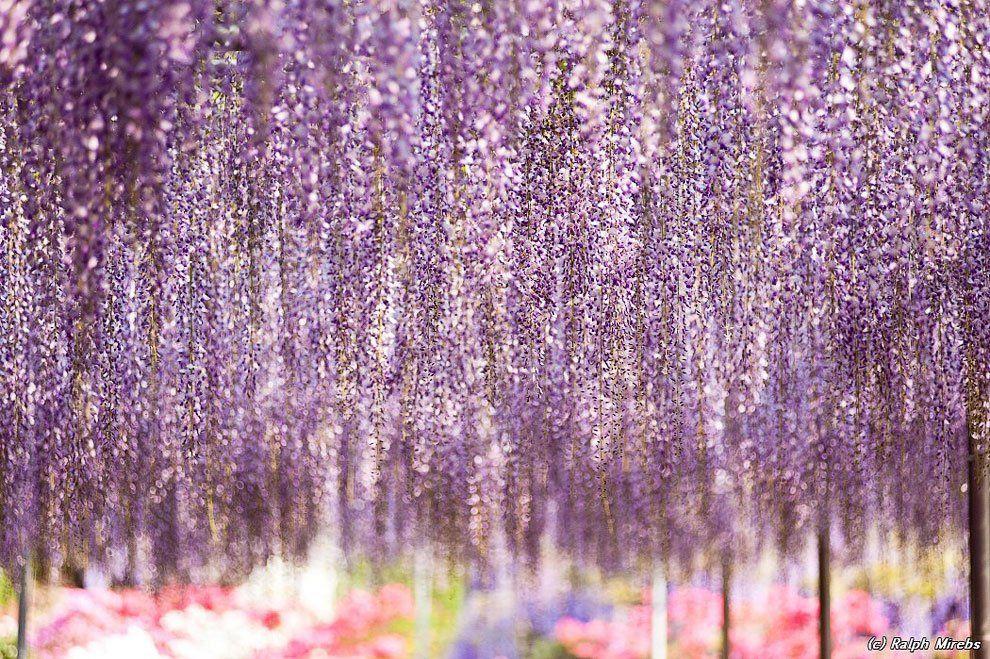ashikaga_flower_park_007