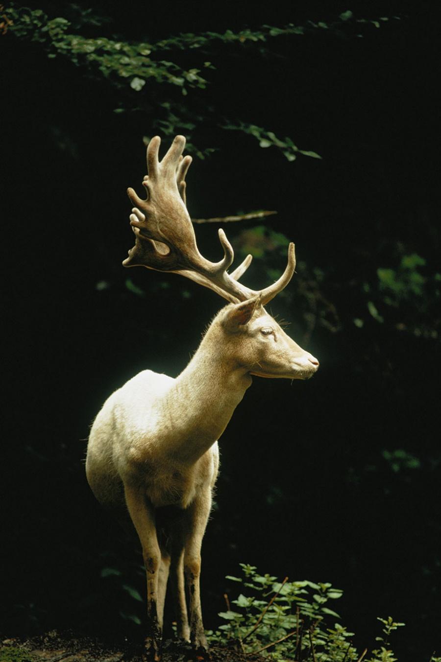Белый олень в лесу Швейцарии, 1973