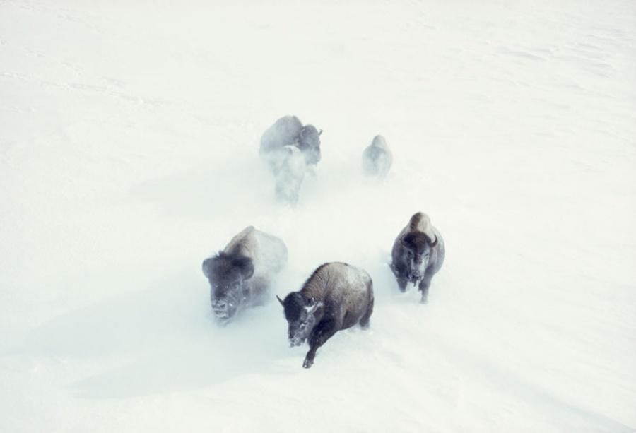 Бизоны пробираются сквозь сильный снегопад в национальном парке Йеллоустон, США, ноябрь 1967
