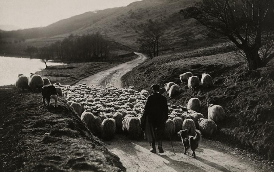 Мужчина пасет стадо овец со своими помощниками — собаками колли, Шотландия, 1919