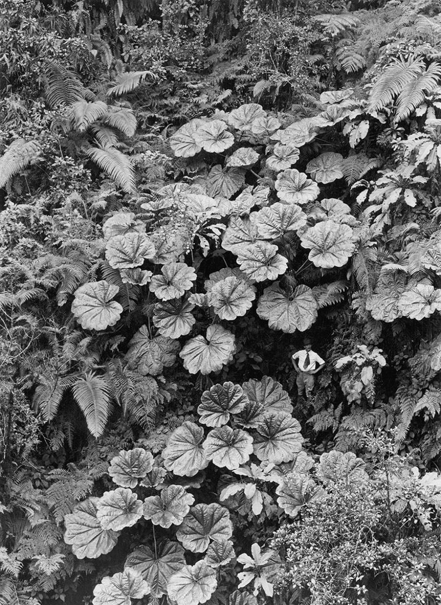 Мужчина кажется крохотным в сравнении с листьями больших растений, остров Мауи, Гавайи, 1924