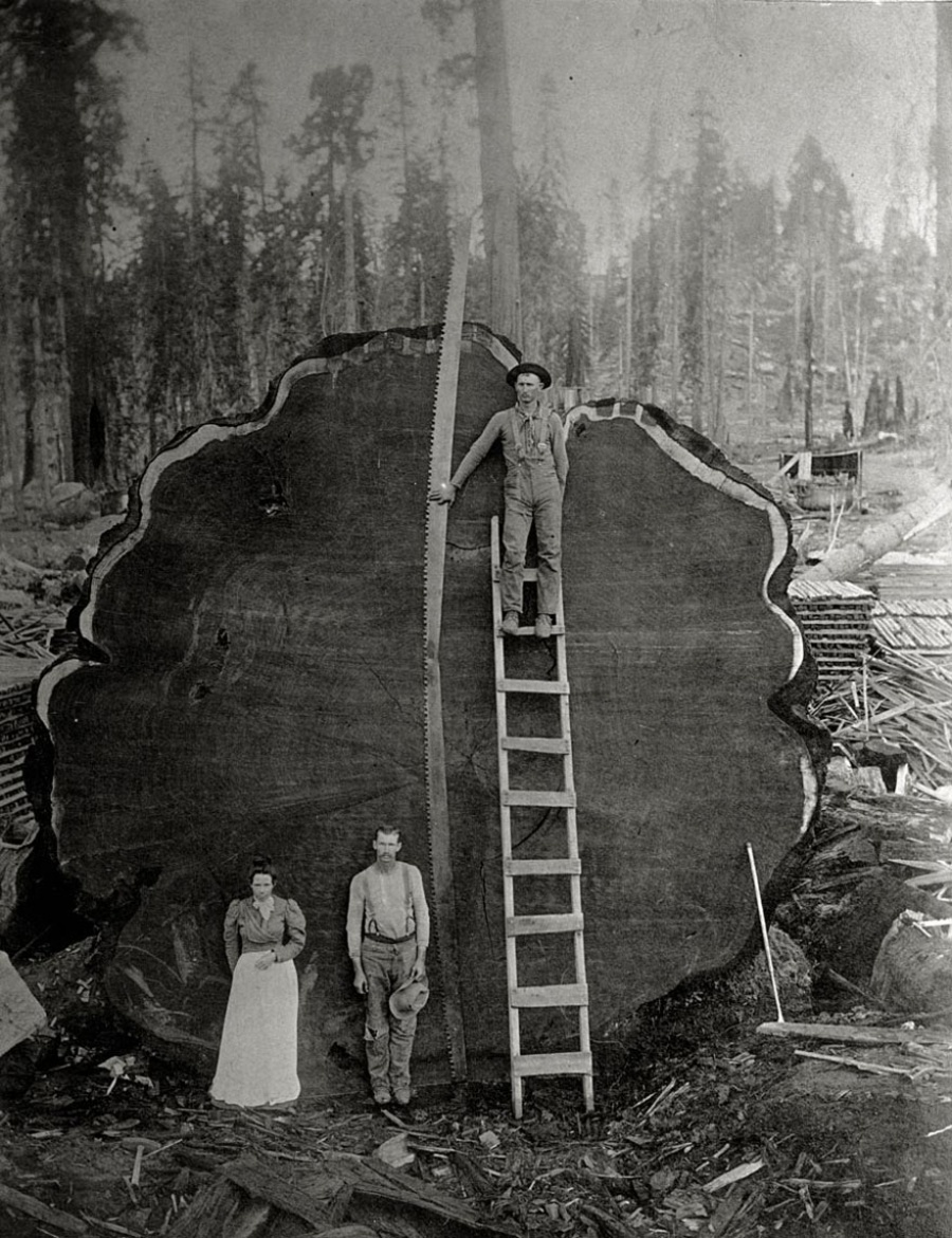 Лесорубы и гигантское красное дерево Марк Твен, Калифорния, США, 1892