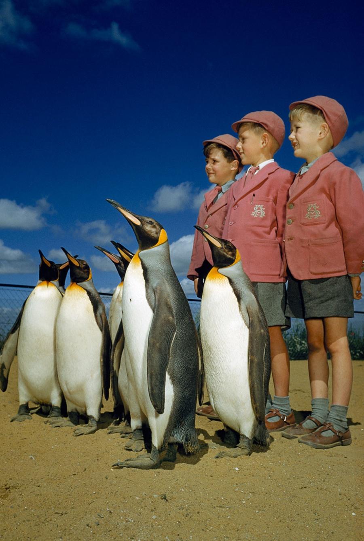 Мальчики в школьной форме позируют с королевскими пингвинами в Лондонском зоопарке, Англия, 1953