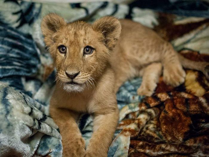 Купленный нелегально семьёй, которая больше не хотела о нём заботиться, львёнок отчаянно нуждался в помощи