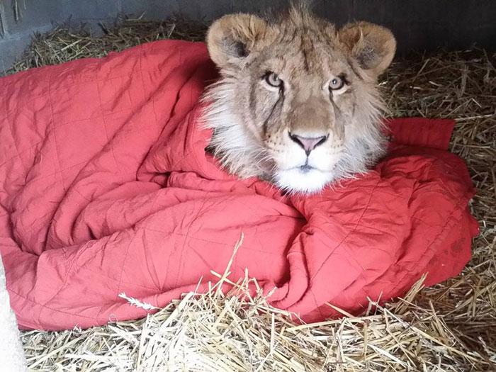 «Предыдущие владельцы рассказали, что львёнок спал в одной постели с дедушкой»