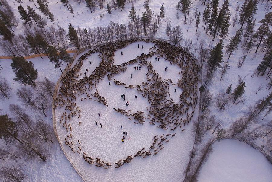 Оленей собирают Саамские оленеводы возле норвежской деревни Снаса (Snasa).