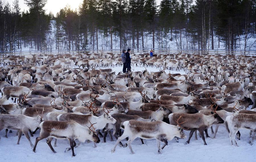 Саамы - коренной народ проживающий в районах Скандинавии и Арктике. Их занятием всегда традиционно было оленеводство.