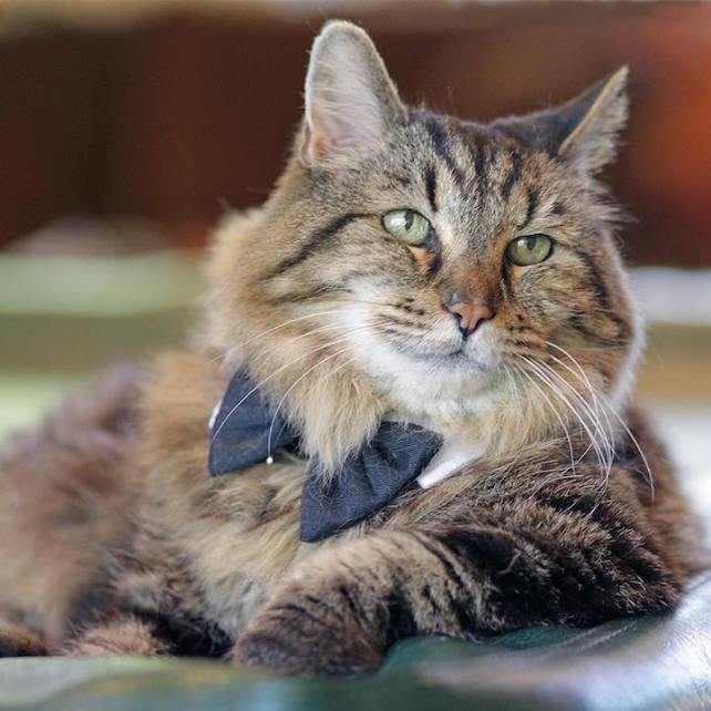 Мейн-кун является старейшей кошкой в мире