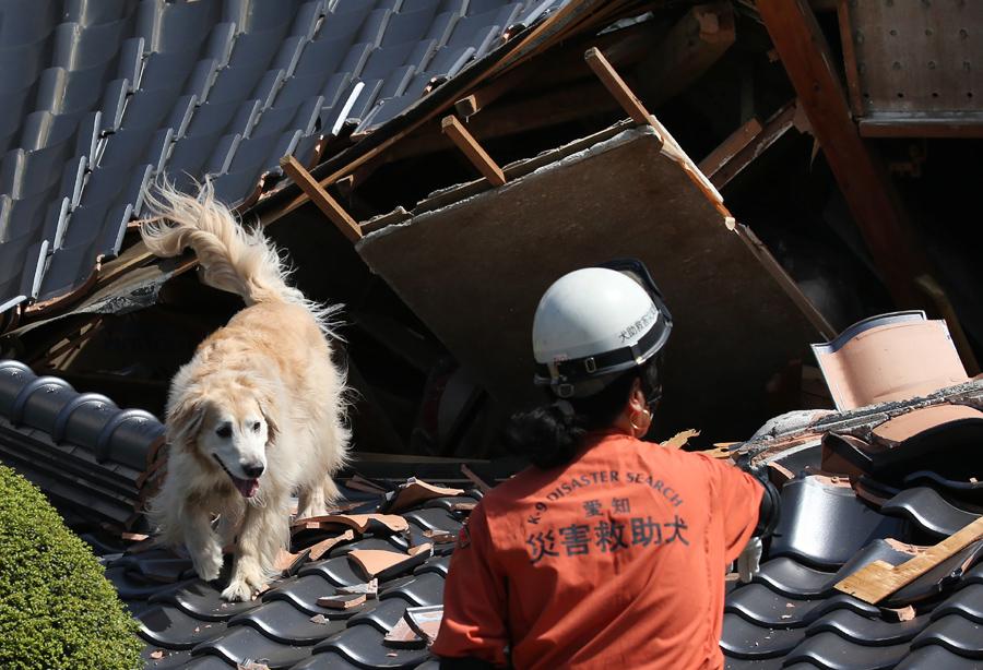 Собака ищет выживших под обломками дома, который рухнул после землетрясения в Машику, префектура Кумамото, 17 апреля, 2016.