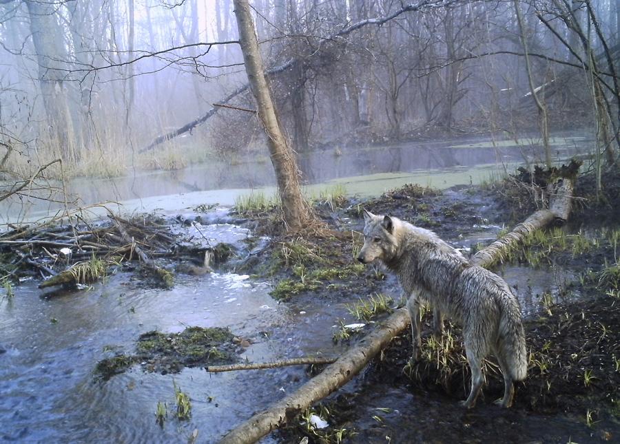 Волк в дремучем лесу вблизи Чернобыльской АЭС Украины в апреле 2012 года.