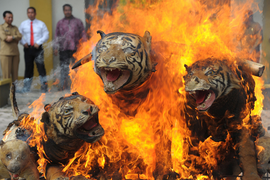 В Индонезии 23 мая 2016 года, сотрудники Министерства лесного хозяйства по охране природы в провинции Ачех уничтожали трофеи диких животных (суматранские тигры), в знак борьбы с браконьерством.