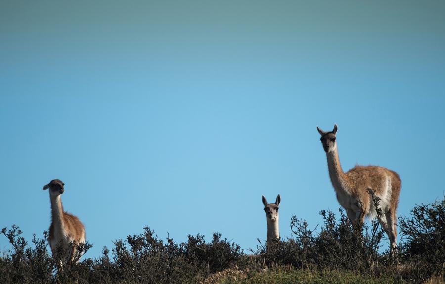 Три Гуанако (Lama guanicoe) семейства верблюдовых родом из Южной Америки, неподалеку-Пуэрто Наталес в Торрес-дель-Пайне Национальный парк, 26 февраля 2016 года.