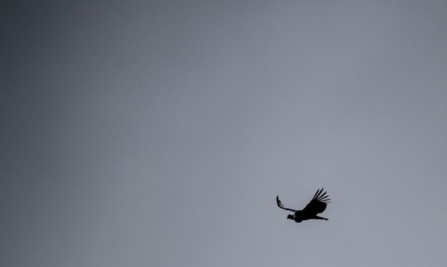 """Кондор летает возле Пуэрто-Наталес, регион """"Магеллан"""", в чилийской Патагонии, 18 февраля 2016 года."""