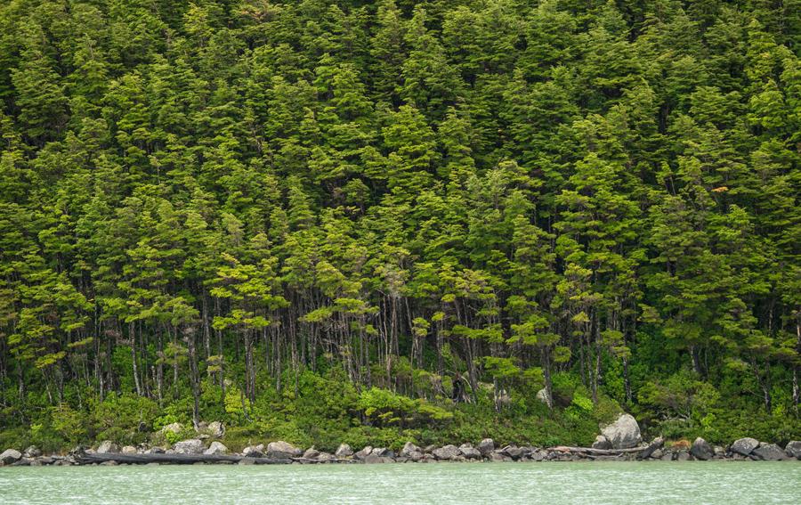 Лес возле ледника Серрано в Национальном парке Бернардо О'Хиггинс, 21 февраля 2016 года.