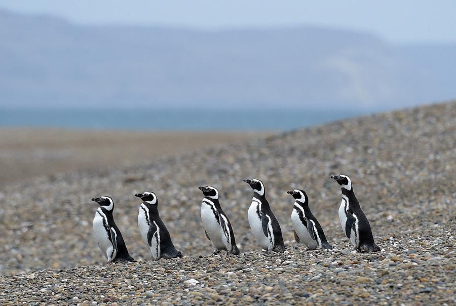Магеллановые пингвинов, ходят стаей возле Punta Ninfas, в Патагонской провинции Чубут, Аргентина, 1 октября 2015 года.