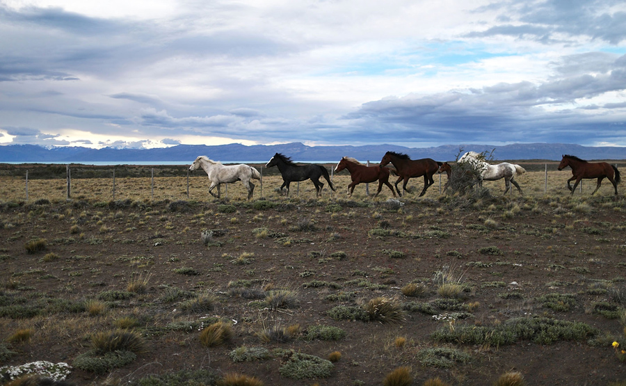 Лошади бегут рядом с Национальным парком Лос-Гласиарес, 26 ноября 2015 в Санта-Крус, Аргентина.