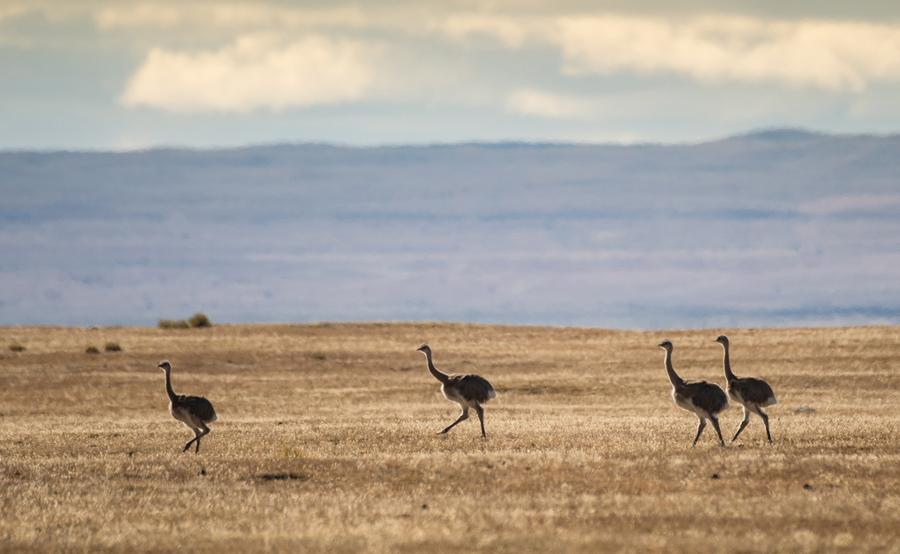 """Нелетающие птицы Нанду бегают возле Пуэрто-Наталес, """"Магеллан"""", в чилийской Патагонии, 18 февраля 2016 года."""