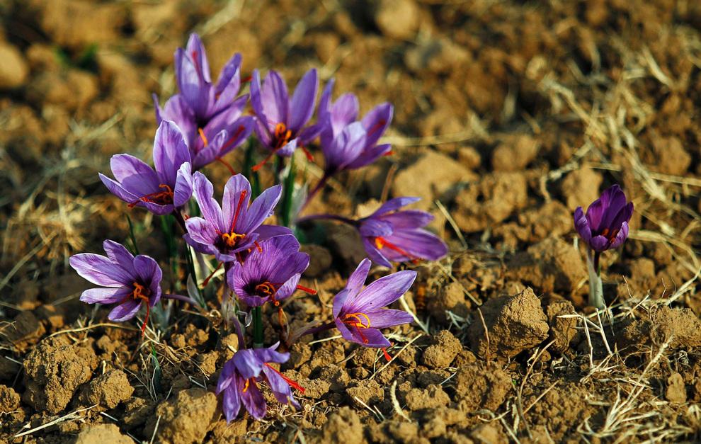 Распустившиеся цветы шафрана (или крокуса, как его называют в цветоводстве), Пампур, штат Джамму и Кашмир, Индия.