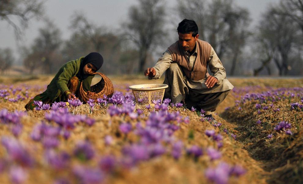Абдул Рашид (Abdul Rashid) со своей семилетней дочерью Ишрат занимается уборкой урожая шафрана.