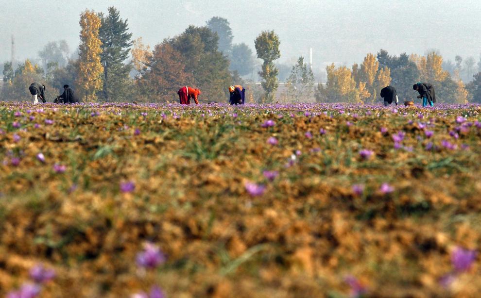 Шафрановые плантации в Пампуре. Их общая площадь составляет 4 000 гектаров.