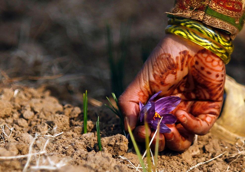 Ишрат срывает цветок шафрана.