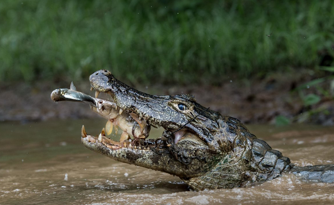 Сцена была снята на крупнейшем в мире болоте, Бразильском Пантанале.