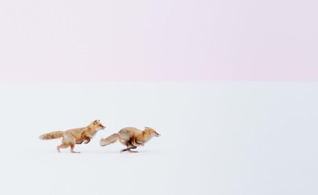 Лисы гонятся друг за другом по заснеженным полям на севере Японии.