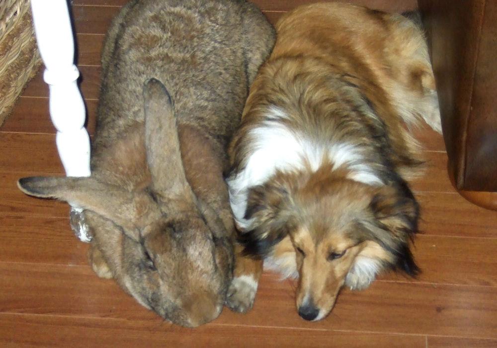 Кролик породы фландр (бельгийский великан)