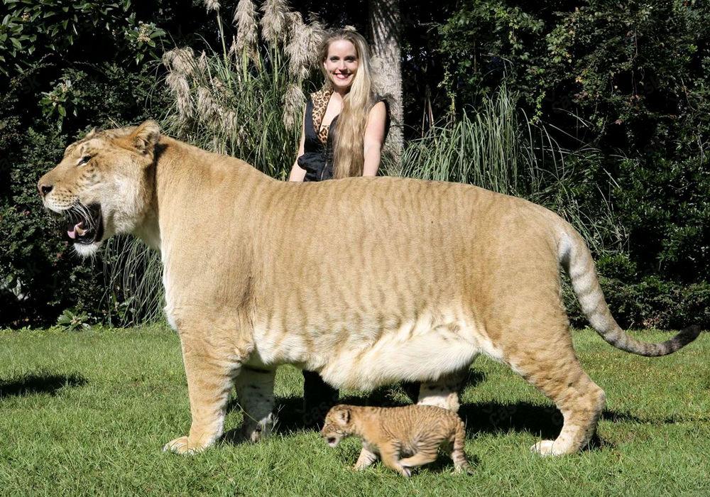 Лигр — гибрид, потомок льва и тигрицы