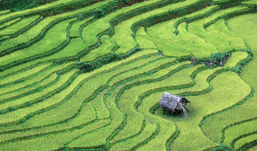 Рисовые поля в провинции Йенбай, Вьетнам. В горах от 1000 до 2000 метров над уровнем моря, фермеры выращивали рис на террасные поля в течение нескольких сотен лет.