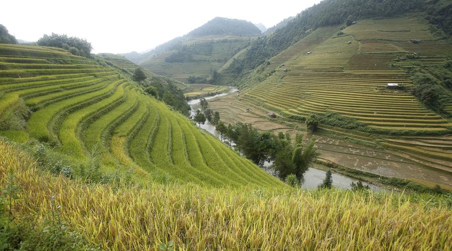 Террасные рисовые поля во время сбора урожая к северо - западу от Ханоя.