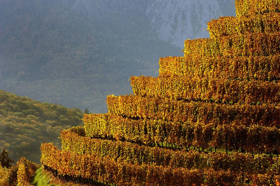Виноградник купается в осеннем солнечном свете, долина Рона, Швейцария.