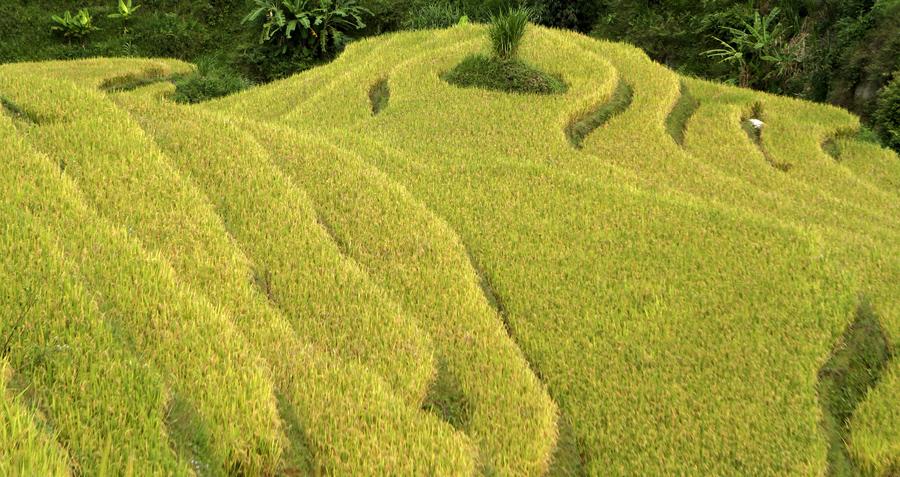 Рисовые поля к северо - западу от Ханоя.