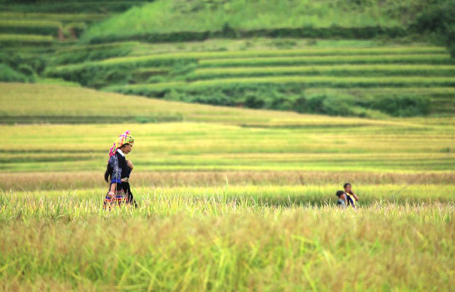 Женщина идет по рисовому полю в районе Му Cang Chai, провинция Йенбай, Вьетнам.
