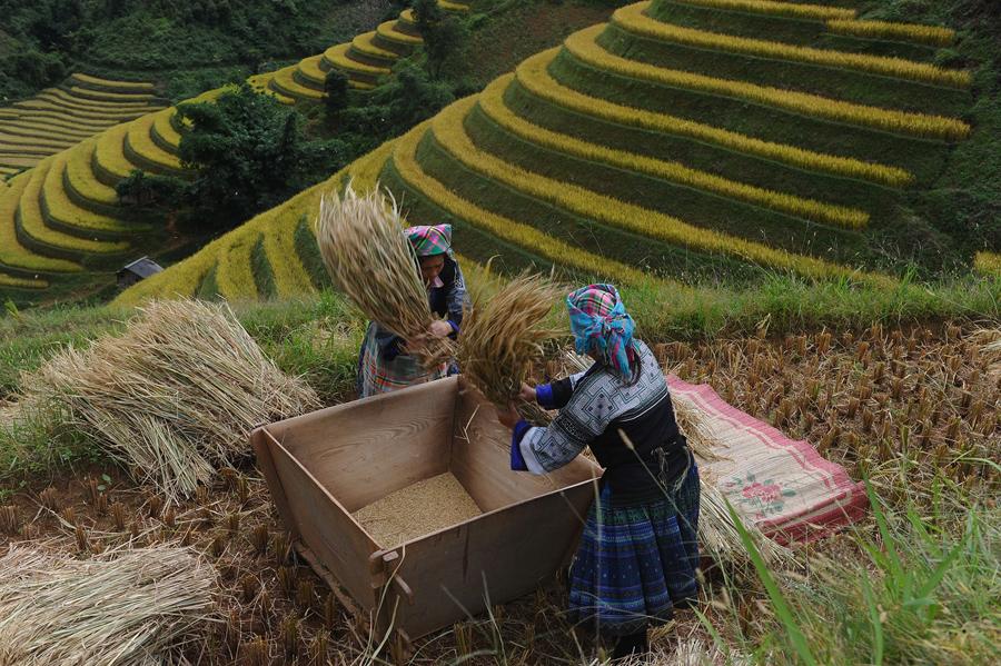 Женщины складывают урожай в деревянную коробку.