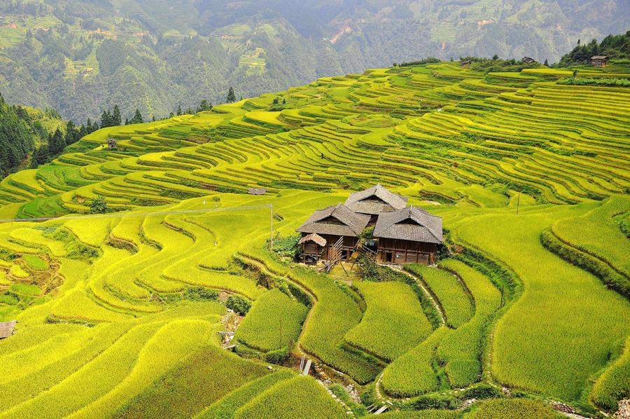 Рисовые поля в деревне Dangniu, Китай.