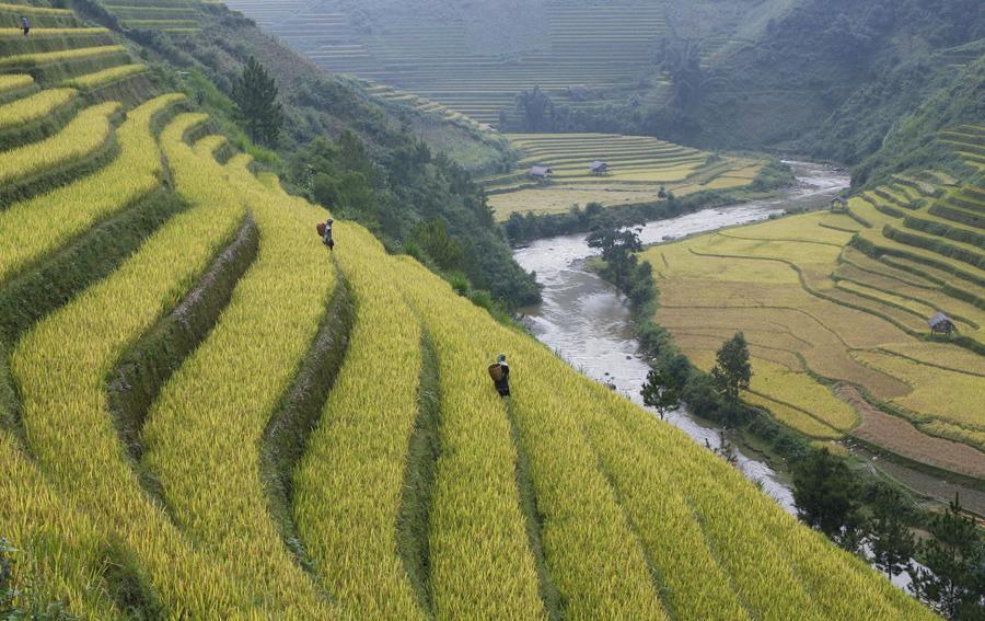 Фермеры работают на террасах рисового поля в деревне Ла Пан Тан, в северном отдаленном районе Вьетнама.