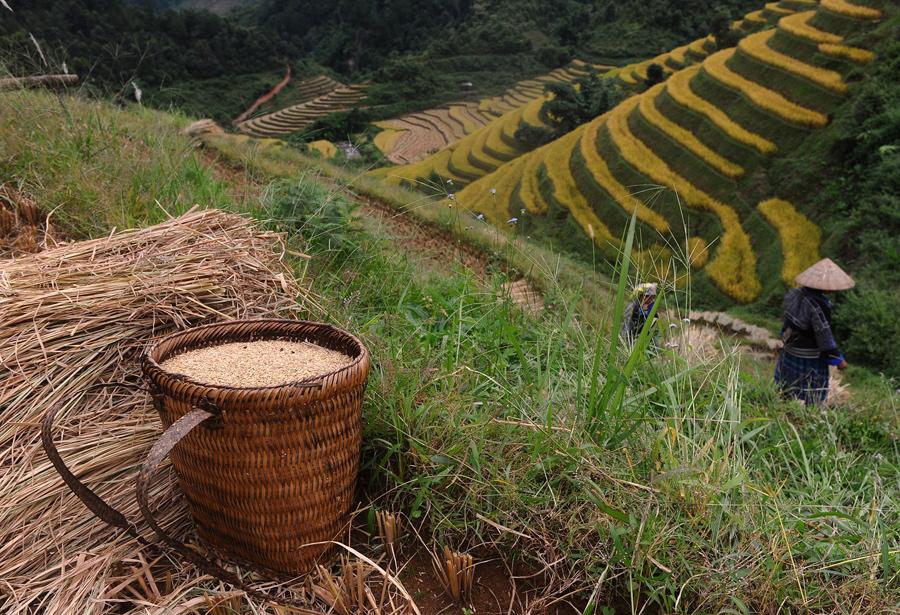 Женщина собирает урожай с рисового поля в северной горной провинции Йенбай.