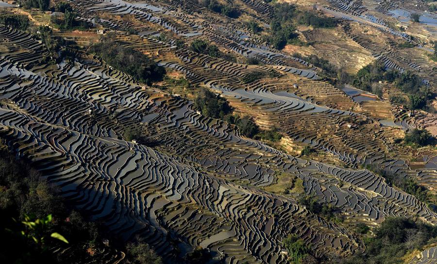 Террасные рисовые поля в Хани, Китай.